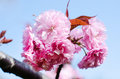 Sakura cherry flowers japanese prunus serulata kikushidare blossom Royalty Free Stock Photography