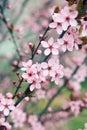 Sakura cherry tree blossoms in early spring Royalty Free Stock Photo