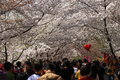 Sakura festival in yuyuantan park in beijing china Royalty Free Stock Photo