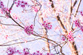 Sakura Flower with nature background in cool season Royalty Free Stock Photo