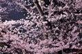 Sakura flower at night Royalty Free Stock Photo