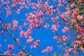 Sakura or Flower queen tiger.