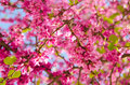 Sakura flowering buds on the tree Royalty Free Stock Photo