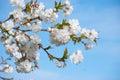 Sakura flowers blooming. Royalty Free Stock Photos