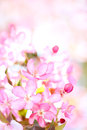 Sakura flowers blooming Royalty Free Stock Image