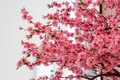 Sakura flowers blooming beautiful pink cherry blossom Stock Photo