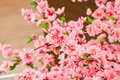 Sakura flowers blooming beautiful pink cherry blossom Royalty Free Stock Photos