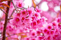 Sakura flowers blooming in winter Royalty Free Stock Photo