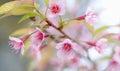 Sakura flowers , Cherry blossom