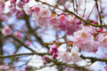 Sakura flowers cherry blossom at spring Royalty Free Stock Images