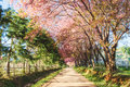 Sakura flowers pink road in chiangmai thailand Stock Photo