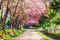 Sakura flowers pink road in chiangmai thailand Stock Images