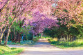 Sakura flowers pink road in chiangmai thailand Royalty Free Stock Photos