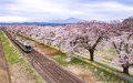 Sakura full bloom Royalty Free Stock Photo