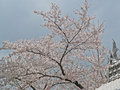 Sakura in Himeji Castle Royalty Free Stock Photography
