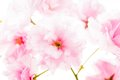 Sakura isolated pink flowers of on white Royalty Free Stock Photo
