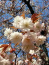 Sakura japan white cherryblossom Stock Photo
