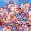 Sakura japanese cherry blossom in springtime over blue sky Royalty Free Stock Images