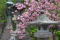 Sakura in nagano japan traditional japanese stone lanterns and cherry blossom at zenkoji temple grounds Royalty Free Stock Photo