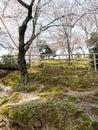 Sakura no parque Imagem de Stock