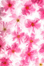 Sakura pattern pink flowers of like a background Royalty Free Stock Photography