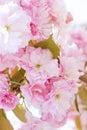 Sakura, pink cherry blossoms