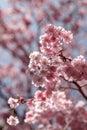 Sakura Or Pink Cherry Blossoms...