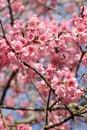 Sakura pink flower Royalty Free Stock Photos