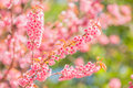 Sakura pink flower beautiful thai in winter at chaing mai province thailand Stock Images