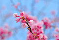 Sakura pink flower in chaingmai thailand cherry blossom closeup of beautiful flowers Stock Photography