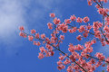 Sakura pink flower in, Thailand, Cherry blossom Royalty Free Stock Photo
