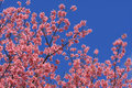 Sakura pink flower in, Thailand, Cherry blossom Royalty Free Stock Photography