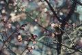 Sakura in the spring garden pink flowers Stock Image
