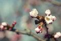 Sakura in the spring garden pink flowers Stock Images