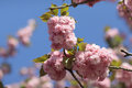 Sakura Spring pink flowers Royalty Free Stock Photo