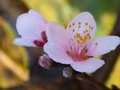Sakura Thailand or flower queen tiger.
