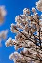 Sakura tree Lizenzfreie Stockbilder