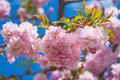 Sakura tree blossoms in spring against a blue sky Royalty Free Stock Photo