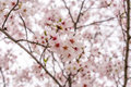 Sakura tree (cherry blossom) in Sakuranomiya park, Osaka, Japan, Royalty Free Stock Photo