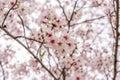 Sakura tree (cherry blossom) in Sakuranomiya park, Osaka, Japan, Royalty Free Stock Photo