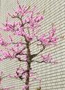 Sakura tree near brick wall rosada Imagen de archivo libre de regalías
