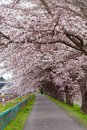 Sakura tunnel and walkway with japanese  cherry blossom blooming Royalty Free Stock Photo