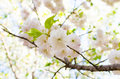Sakura under clear skies the Royalty Free Stock Image