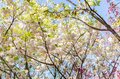 Sakura under clear skies the Royalty Free Stock Photography