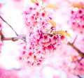 Sakura in winter at doi kunwang chaing mai province thailand Royalty Free Stock Images