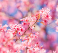 Sakura in winter at doi kunwang chaing mai province thailand Royalty Free Stock Photography