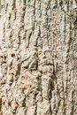 Sal tree trunk cannonball tree trunk close up for a background Royalty Free Stock Photos