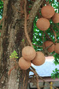 Sal trees cannonball tree or of india Stock Photos