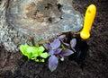Salad and basil seedlings growing beside stump Royalty Free Stock Photo