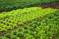 Salad and cabbage field Stock Image